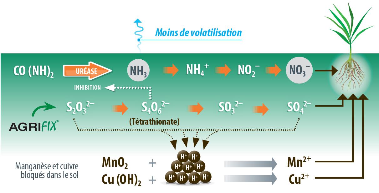 schéma de l'oxydation du thiosulfate par la microflore du sol