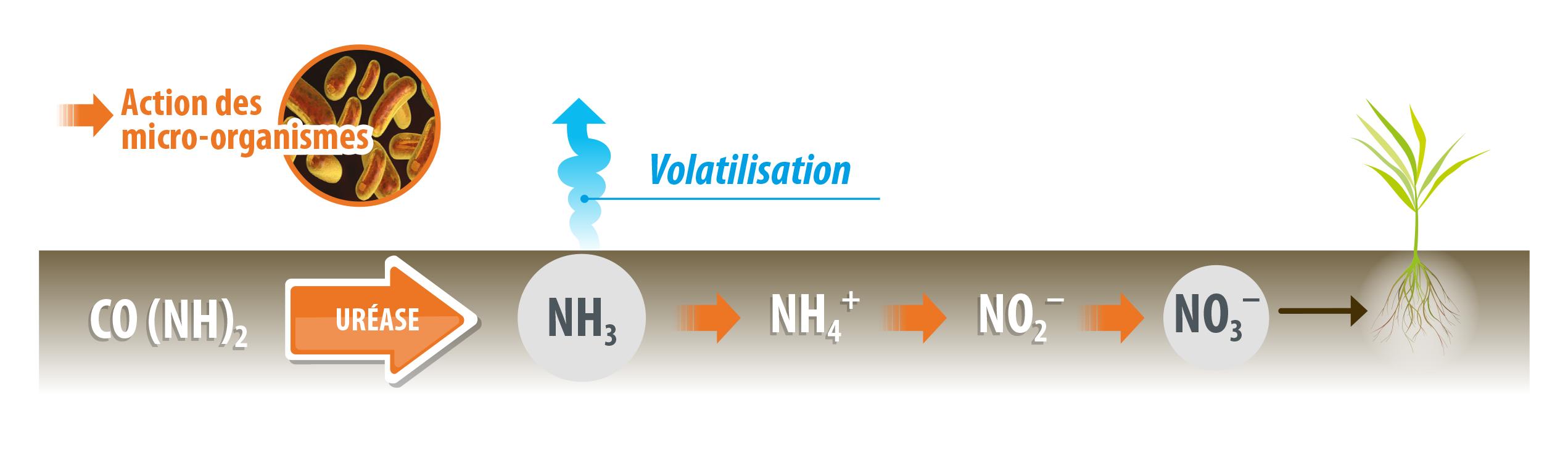 Schéma de volatilisation lorsqu'il n'y a pas d'inhibition de l'uréase